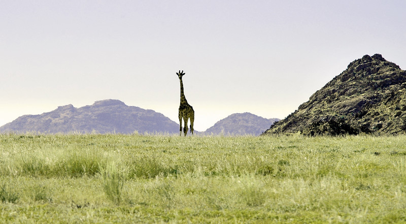 Lone giraffe roaming the Kuiseb area, central Namibia