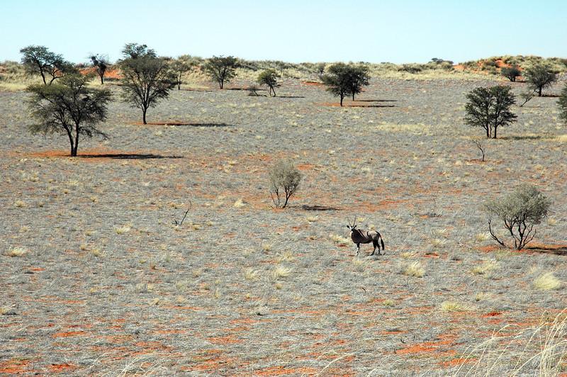 Solitary oryx in the Kalahari desert, Namibia
