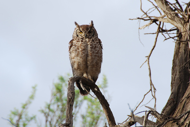 Sleepy spotted eagle owl at dawn in the Karoo, South Africa