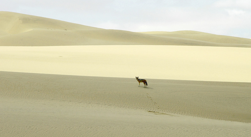 Black-backed jackal searching for carrion and bird eggs in coastal sand dunes of the Namib desert, Namibia