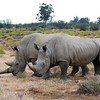 Pair of foraging rhinos, South Africa