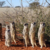 Meerkat family in the Kalahari desert, Namibia