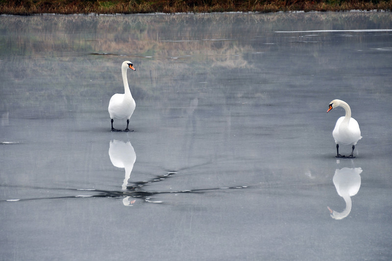 Swan reflections on frozen lake, Scotland