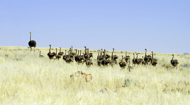 Large flock of young ostriches following an adult ostrich, central Namibia