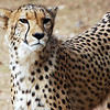 Cheetah in South Africa
