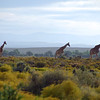 Giraffes along the edge of the Karoo desert, South Africa