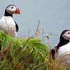 Puffins on coastal cliff at Dyrholaey, Iceland