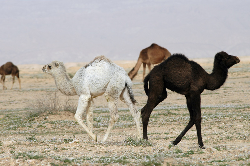 Young camels, Tunisia