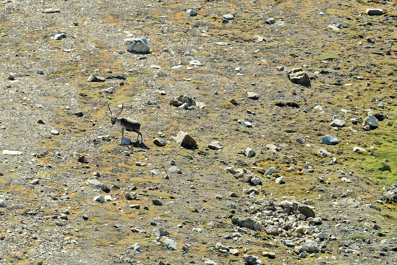 Male reindeer foraging along the base of the Ullaberget (524 m) along the Van Keulenfjorden, Svalbard