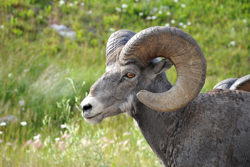 Bighorn sheep in the Canadian Rockies