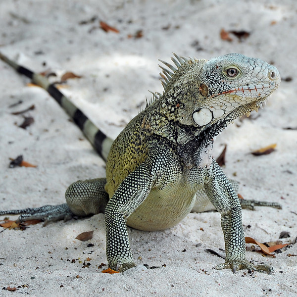 Iguana on coral beach in Curaçao