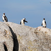 Penguins near Cape of Good Hope, South Africa