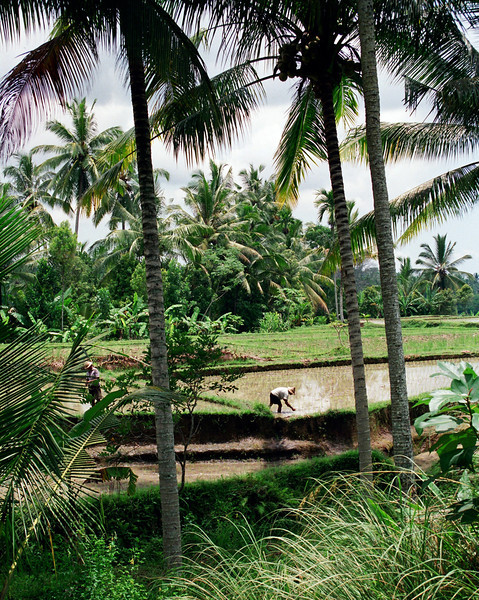 Farmers tilling rice fields in Bali, Indonesia