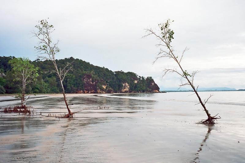 Tall solitary mangroves at Bako national park in Sarawak, Malaysia