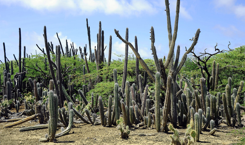 Giant club cactus (Cereus repandus, locally known as kadushi) on Bonaire