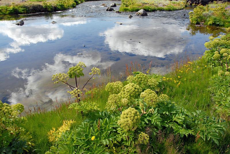 Summer vegetation along stream, Iceland