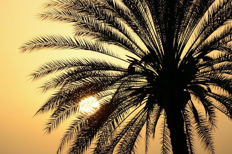 Date palm along the Batinah coast, Oman