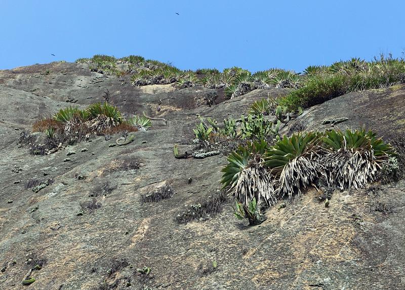 Tropical vegetation clinging to steep coastal cliff under the Forte Duque de Caxias in Rio de Janeiro, Brazil