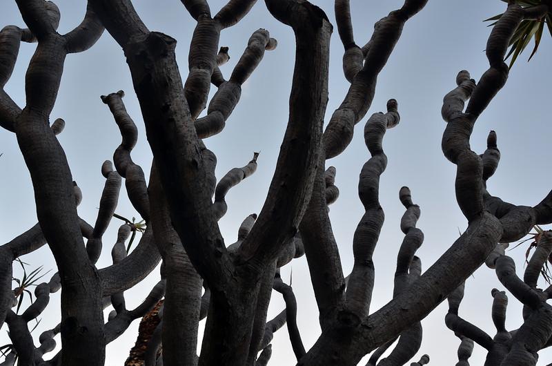 Dracaena drago (dragon tree) in Madeira, Portugal