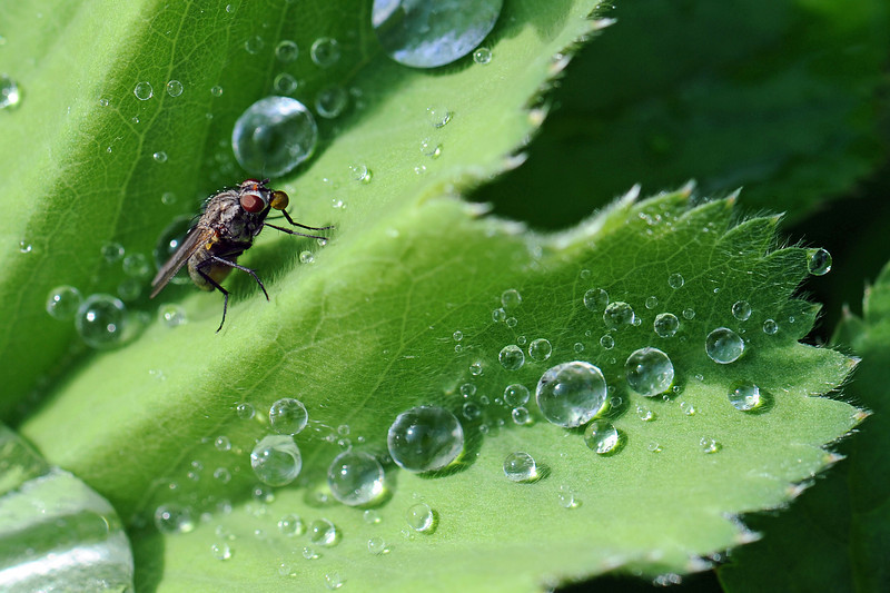 Morning dew attracts thirsty fly, The Netherlands