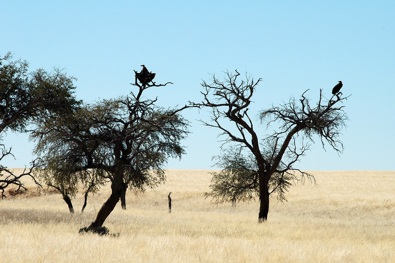 Vultures resting in trees, central Namibia