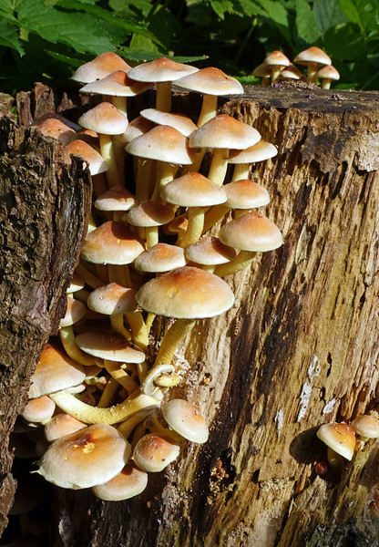 Hypholoma fasciculate (sulphur tuft) on rotting tree trunk, The Netherlands