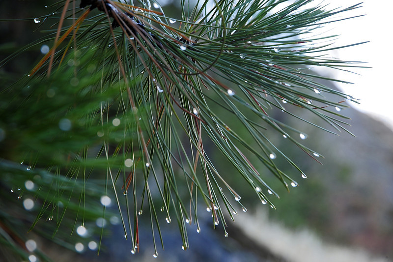Morning dew in pine tree, Canadian Rockies