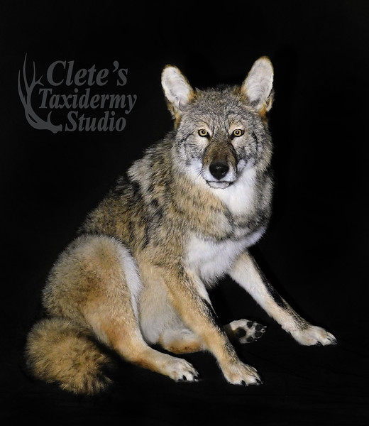 sitting coyote