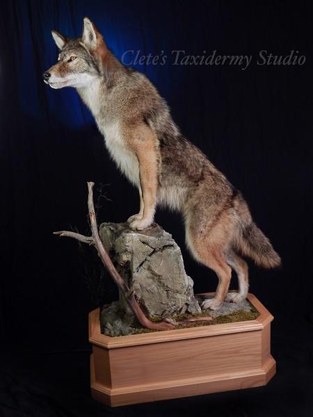 Pennsylvania male coyote