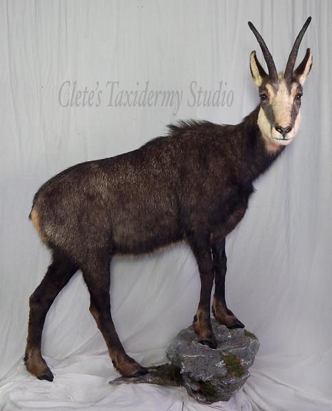 Carpathian chamois