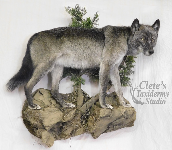 Idaho female wolf