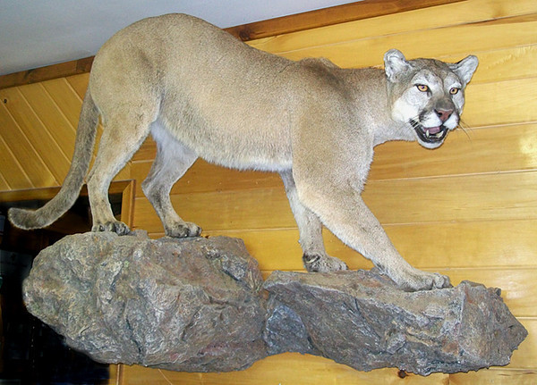 New Mexico mountain lion