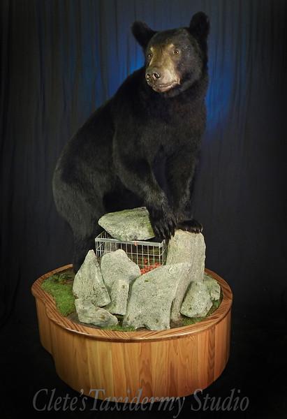 Canadian spring black bear on the bait
