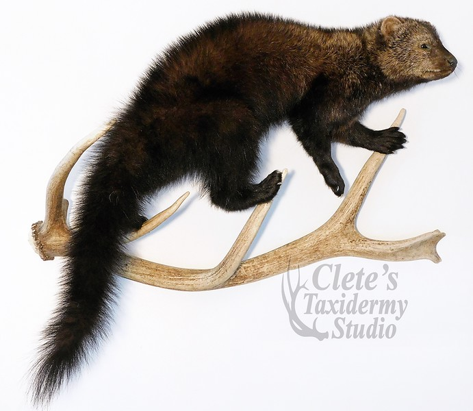 fisher on elk shed antler