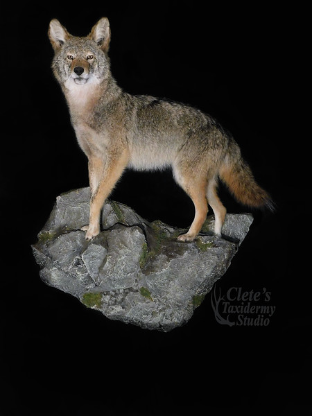 wall hanging, life size, coyote mount