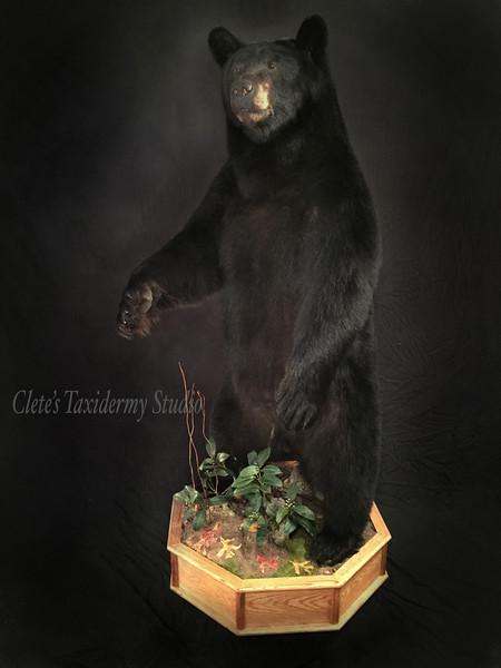500 lb. Pennsylvania black bear