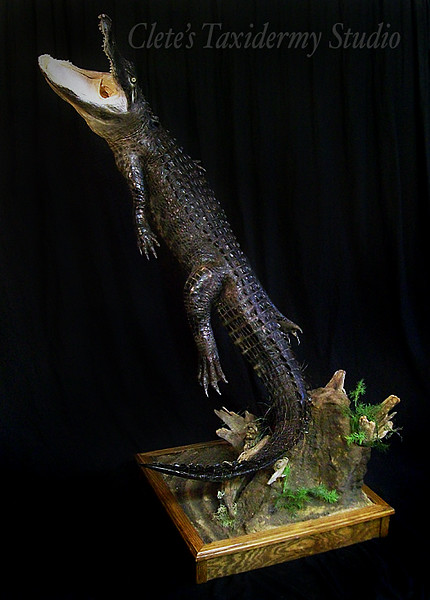 7 ft. alligator