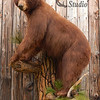 black bear mount, treed in Ponderosa pine, wall hanging