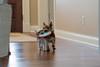 Both dogs bringing toy back