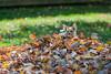 Yorkie watching leaves blowing