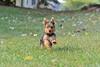 Yorkie running and jumping