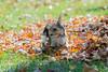 Yorkie in the leaves