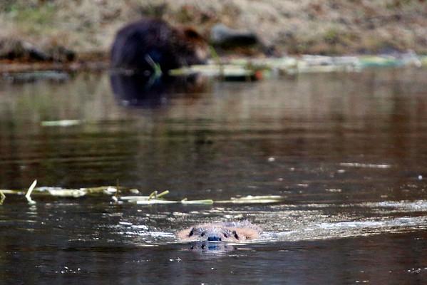 Beavers at Pleasant Valley Wildlife Sanctuary-110315