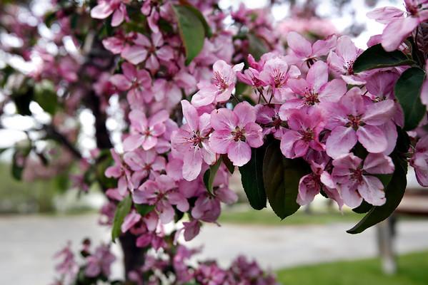 Hebert Arboretum in Bloom-051515