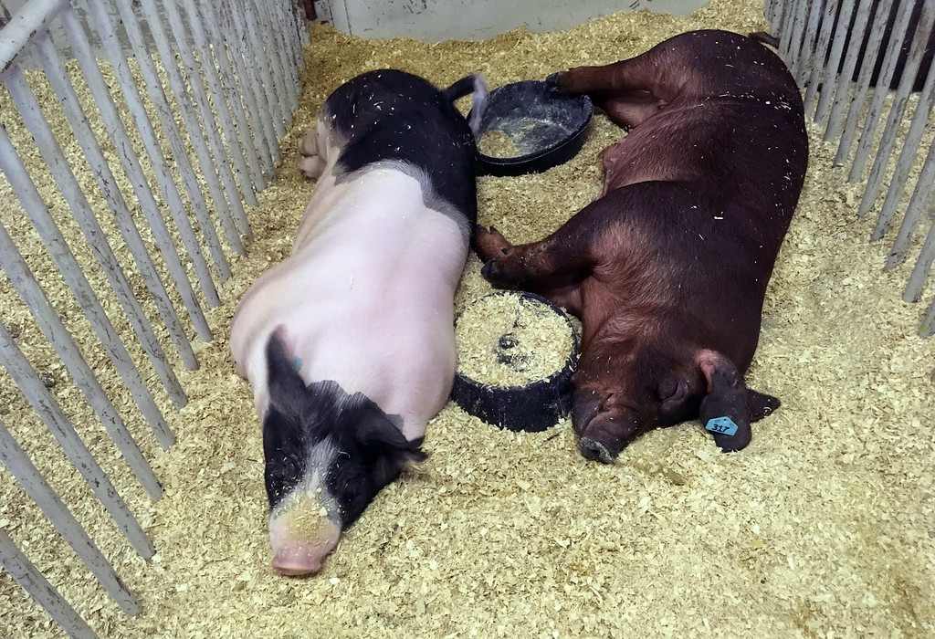 . Bill DeBus � The News-Herald <br> Pigs take a nap in their pen on July 27 at the Lake County Fair.