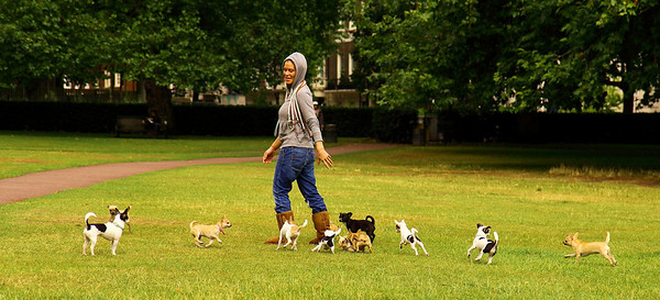 In Grosvenor Square Park this woman had a whole family of chihuahua running around, I'm not a fan of the breed, but it was cute, London, United Kingdom