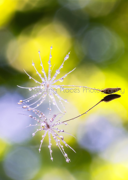 Seedhead Droplets