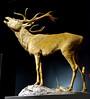 102913 Natural History deer