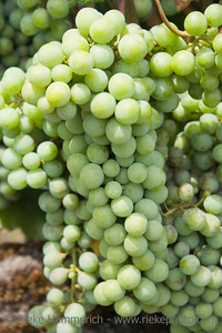 grapes on vine - saint-emilion, france - adobe RGB