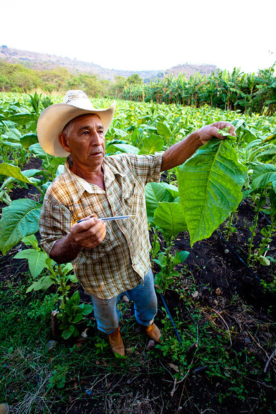 A farmer in rural Nicaragua shows us his tabacco, a crop that is now much more profitable than maize.